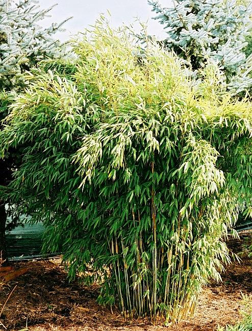 bambus fargesia murielae phyllostachys baumschule. Black Bedroom Furniture Sets. Home Design Ideas
